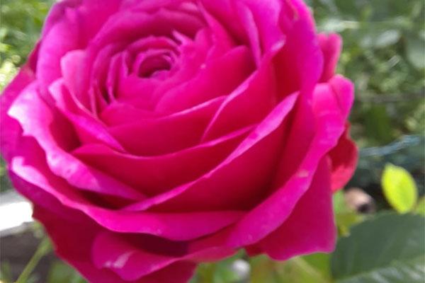 gartenbauverein-neuensee-lichtenfels-rose